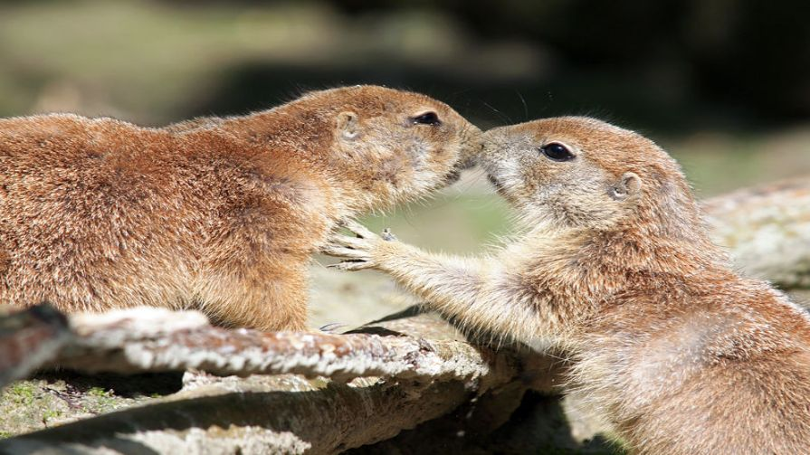 49 unbelievable animal facts you will want to share times prairie dogs greet each other by kissing prairie dogs m4hsunfo