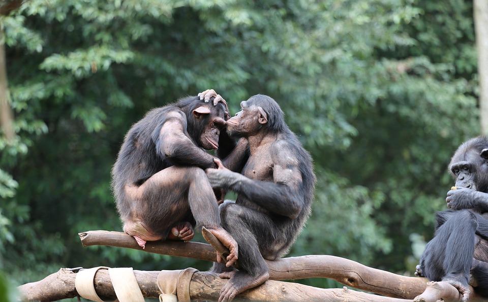 chimps 2