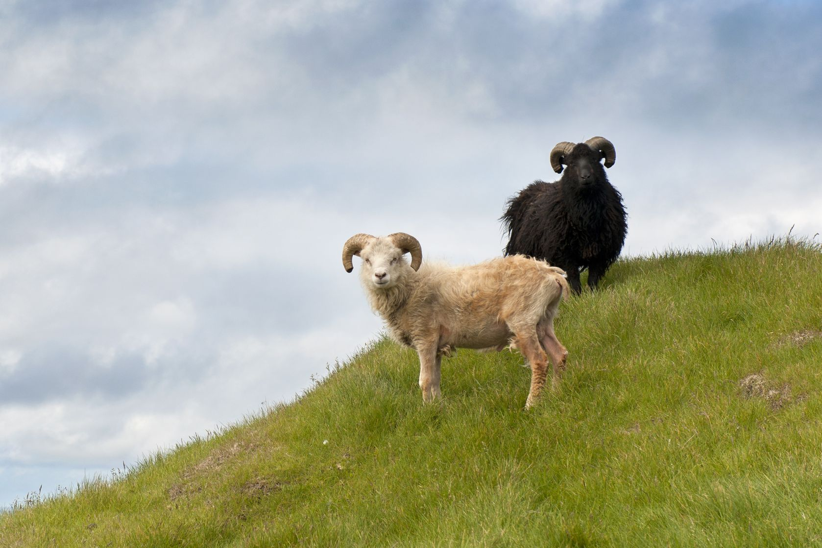 Faroe-Island-sheep