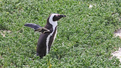 Penguins have no threat on land