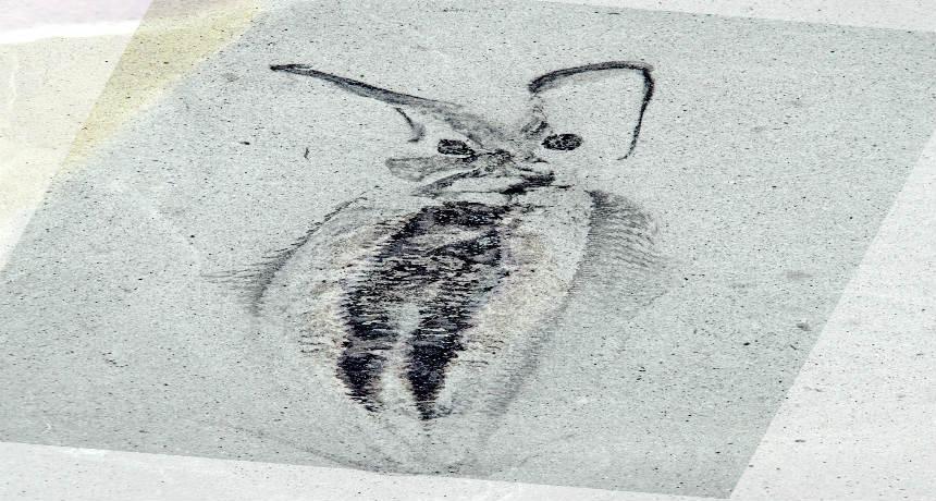 Nectocaris pteryx