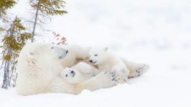 Polar-bears-Manitoba