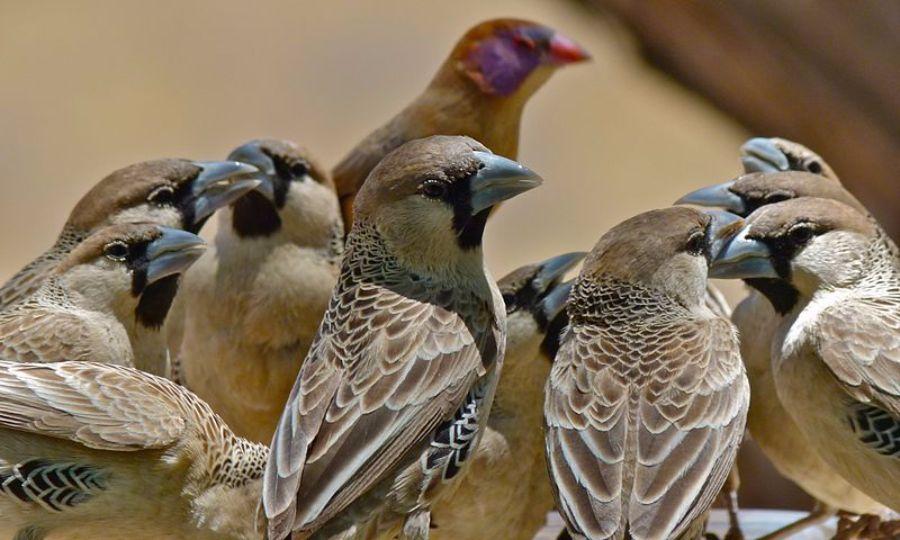 weaver birds 2