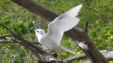 white tern 1