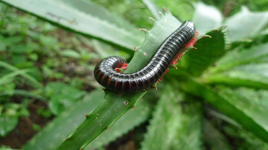 Millipede With Long Legs Do centipedes h...