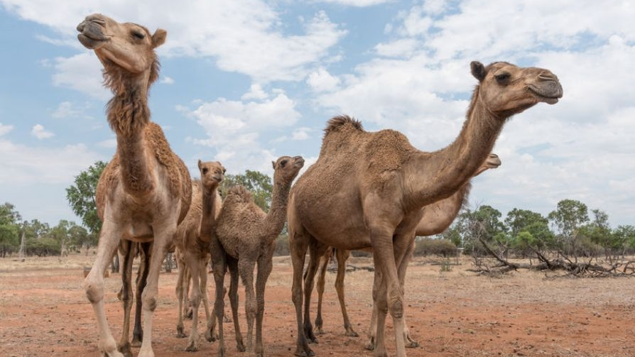 camels-in-Australia