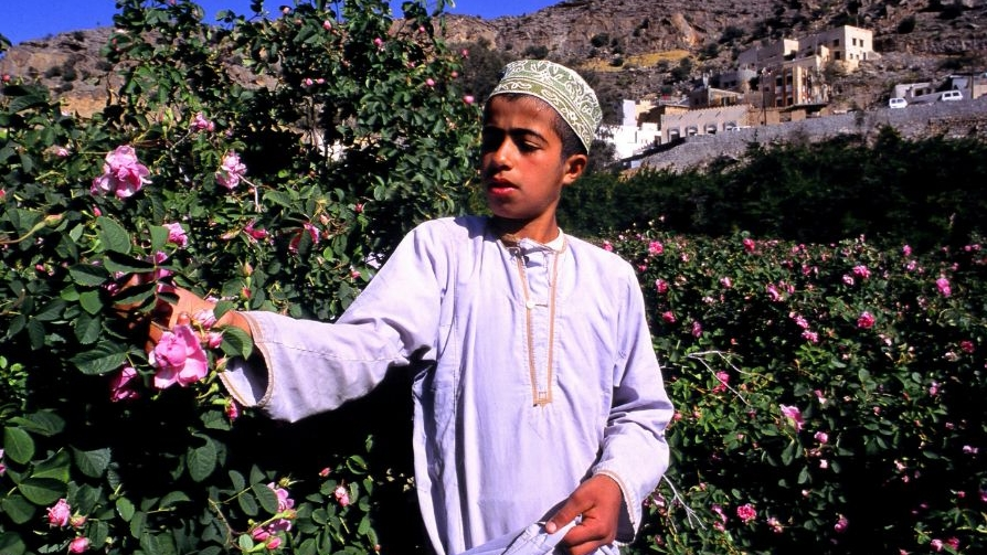 Rose-picker-Jabal-Akhdar-Oman
