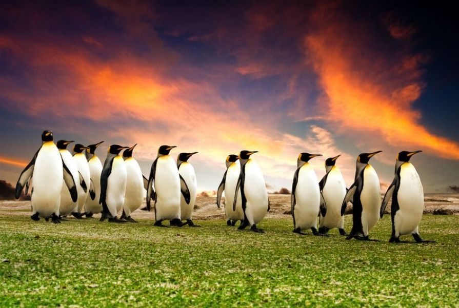 colony_of_king_penguins