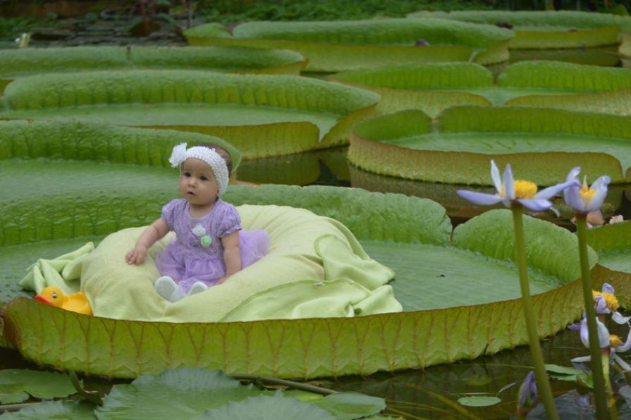Giant_lily_leaf_strong_enough_to_carry_humans