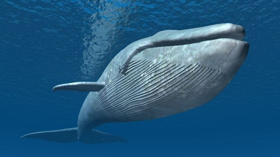 Blue_whales_are_singing_flat_due_to_global_warming