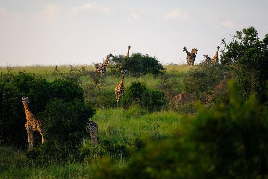 Giraffes_Francesco_Ungaro_Pexels