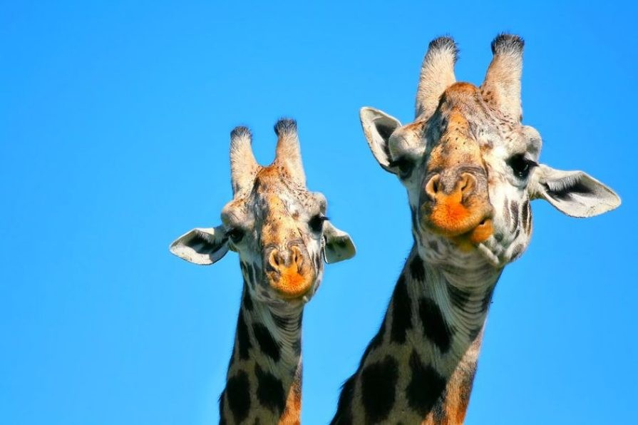 Giraffes_like_to_dine_in_pairs