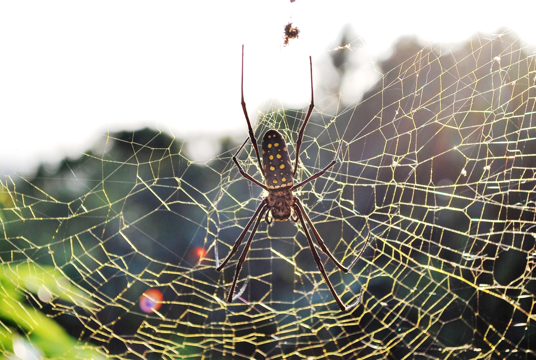 golden-spider