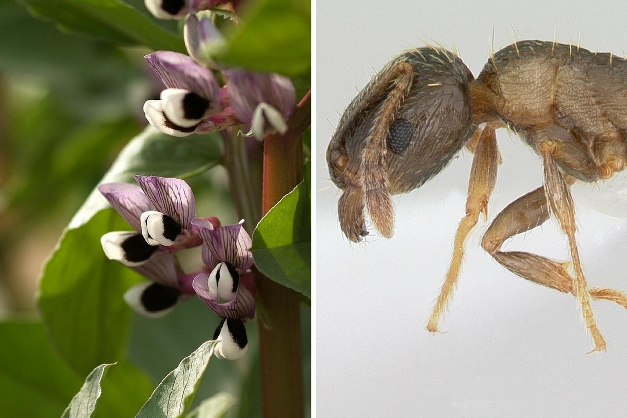 vicia-faba-ants