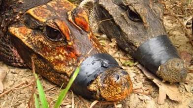 Cave-dwelling-orange-crocodile