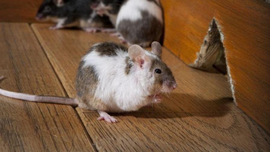 mice_making_bacteria_more_dangerous