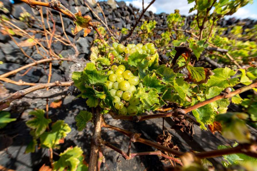 vineyards_on_canary_islands_volcanic_slopes