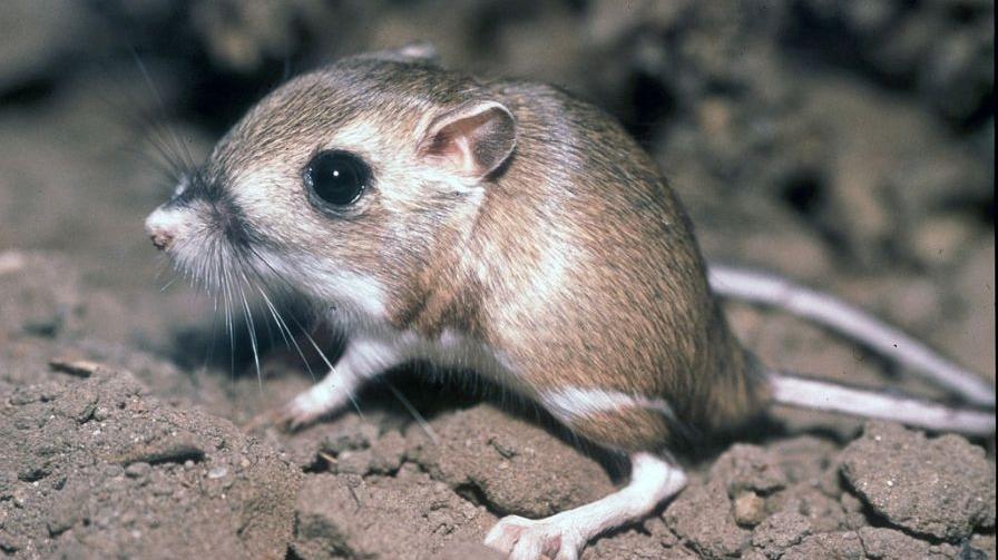 Tipton-Kangaroo-Rat
