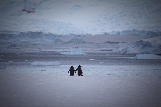 Pexels_Penguins