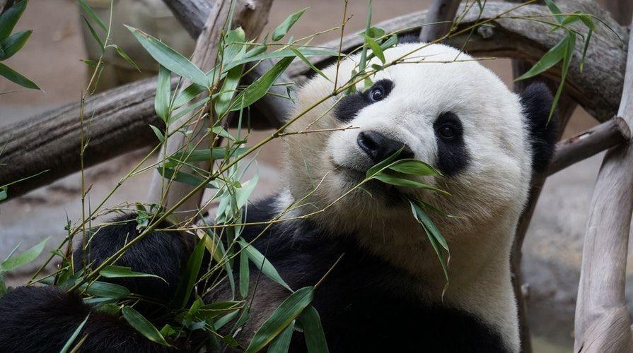Giant_panda__Pexels_Cesar_Aguilar