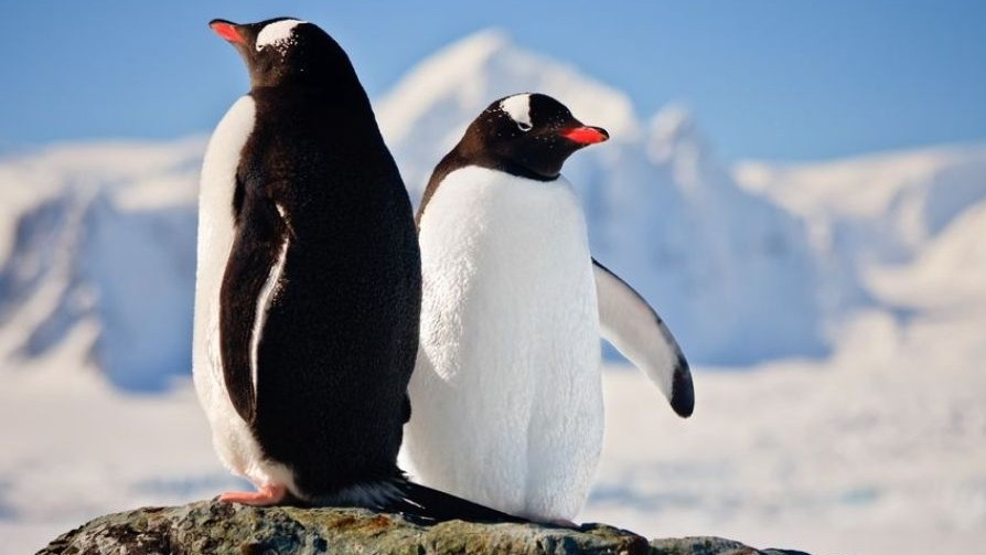 Penguins_not_as_faithful_as_previously_thought