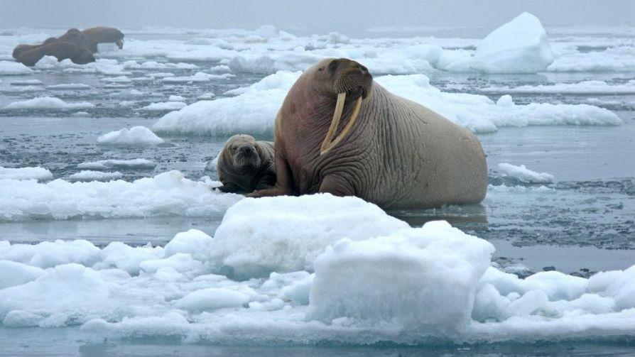 Pacific_walrus_photo_Sarah_Sonsthagen_USGS