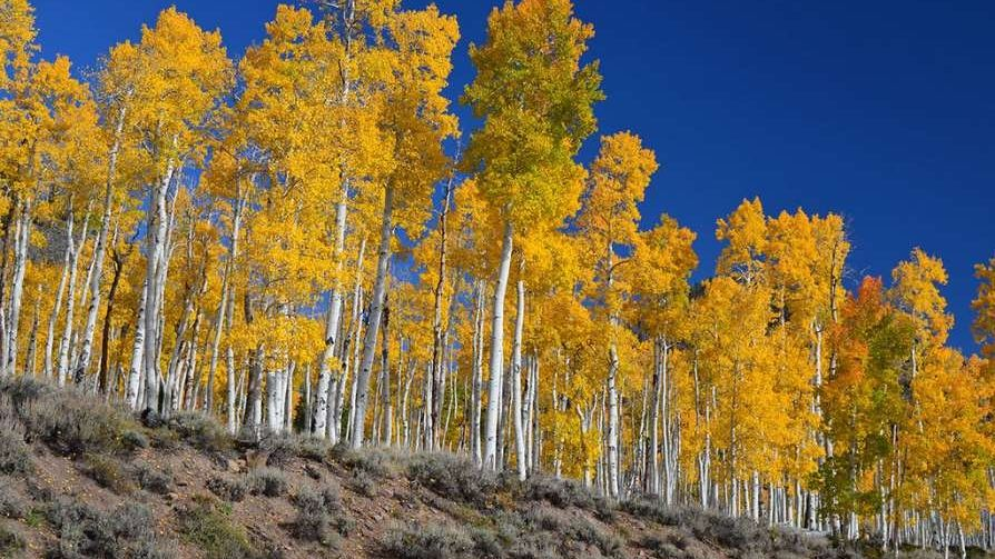 Pando_worlds_largest_living_organism