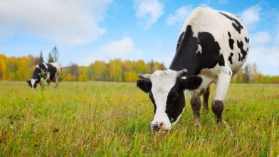 Cows_may_get_seaweed_in_feed_to_reduce_methane_emissions