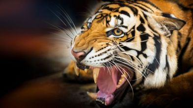 Tigers_are_becoming_more_nocturnal_because_of_human_presence