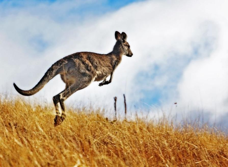 Decoding_the_origin_of_the_kangaroo_hop