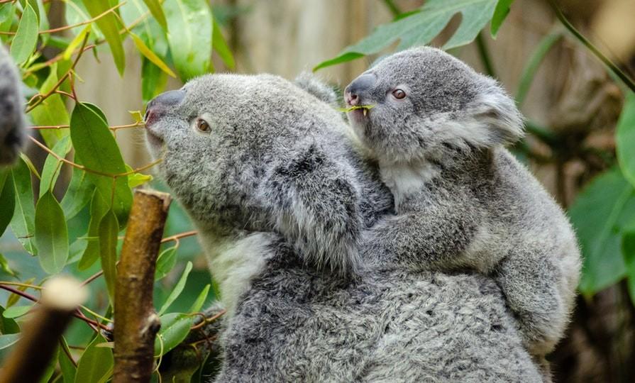 Koalas_are_in_trouble_ in_Australia_pexels