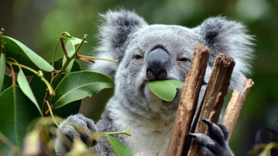 Koalas_are_in_trouble_ in_Australia