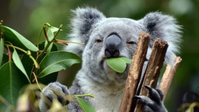 Koalas_are_in_trouble_ in_Australia
