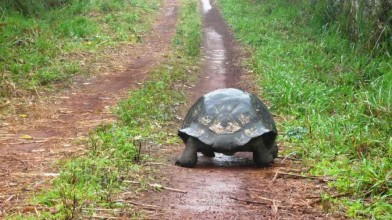 An_extinct_giant_tortoise_has_been_spotted_again_in_the_ Galapagos