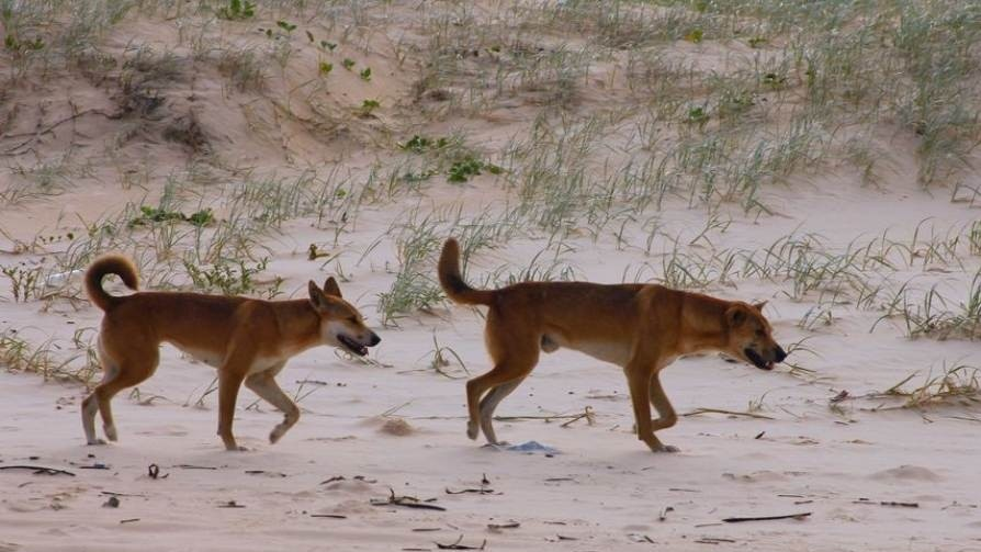 Australian_dingo_to_be_reclassified_as_species_of_its_own