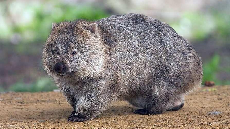 Wombat_on_Maria_Island_JJ_Harrison
