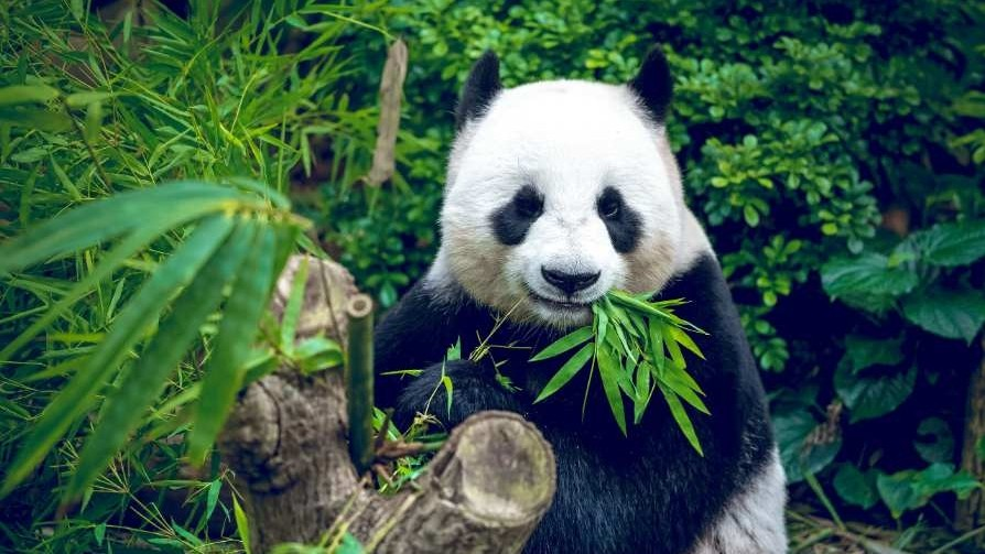 r China_new_giant_panda_park_is_huge